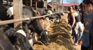 Students feeding cows at farm
